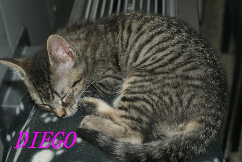 DIEGO, très beau petit tigre de 4 mois Diego210