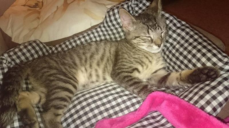 DIEGO, très beau petit tigre de 4 mois Diego211