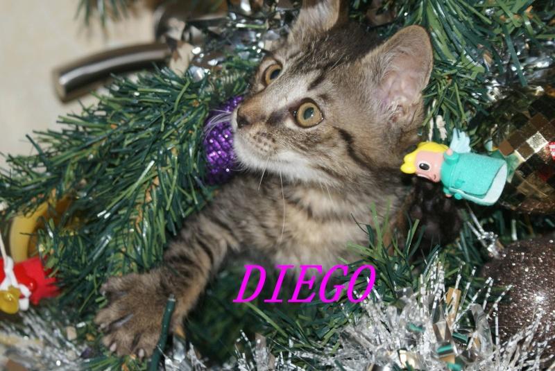 DIEGO, très beau petit tigre de 4 mois Diegop12