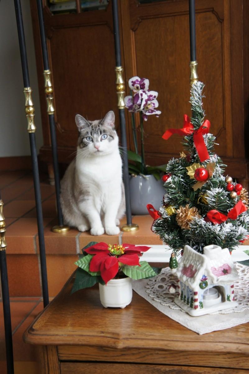 Laïka jeune chatte typée siamoise, gestante, à la rue - Page 3 Dsc07510