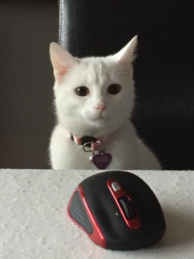 MARIE, adorable chatonne de 3 mois à la robe blanche - Page 2 Img_1711