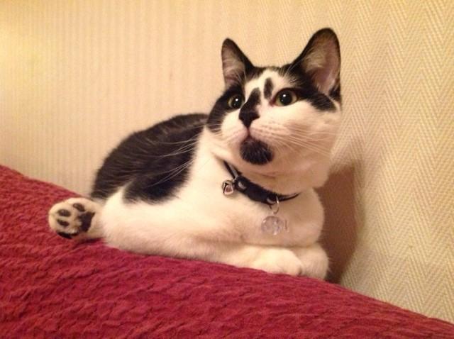 OLIVER, adorable chaton de 4 mois blanc et noir Oliver14