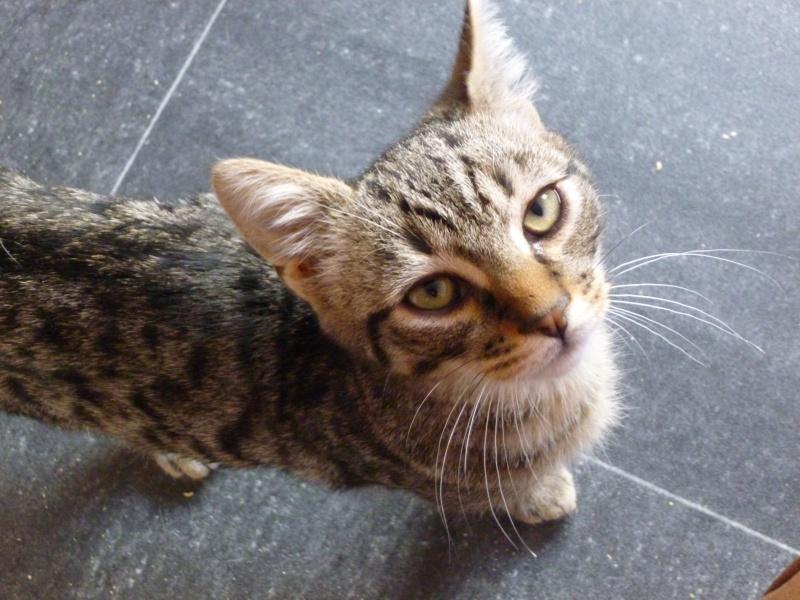 COQUIN, très beau chaton de 3 mois tigré P1020427