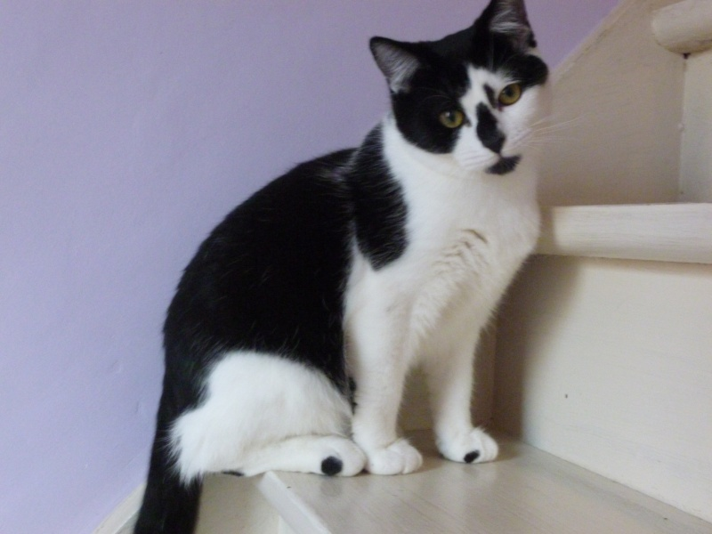OLIVER, adorable chaton de 4 mois blanc et noir P1020522
