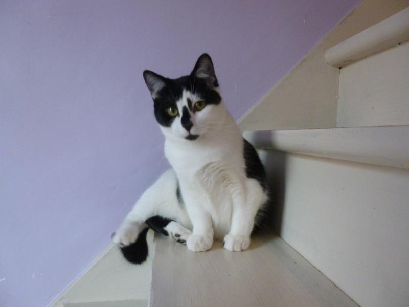 OLIVER, adorable chaton de 4 mois blanc et noir P1020523