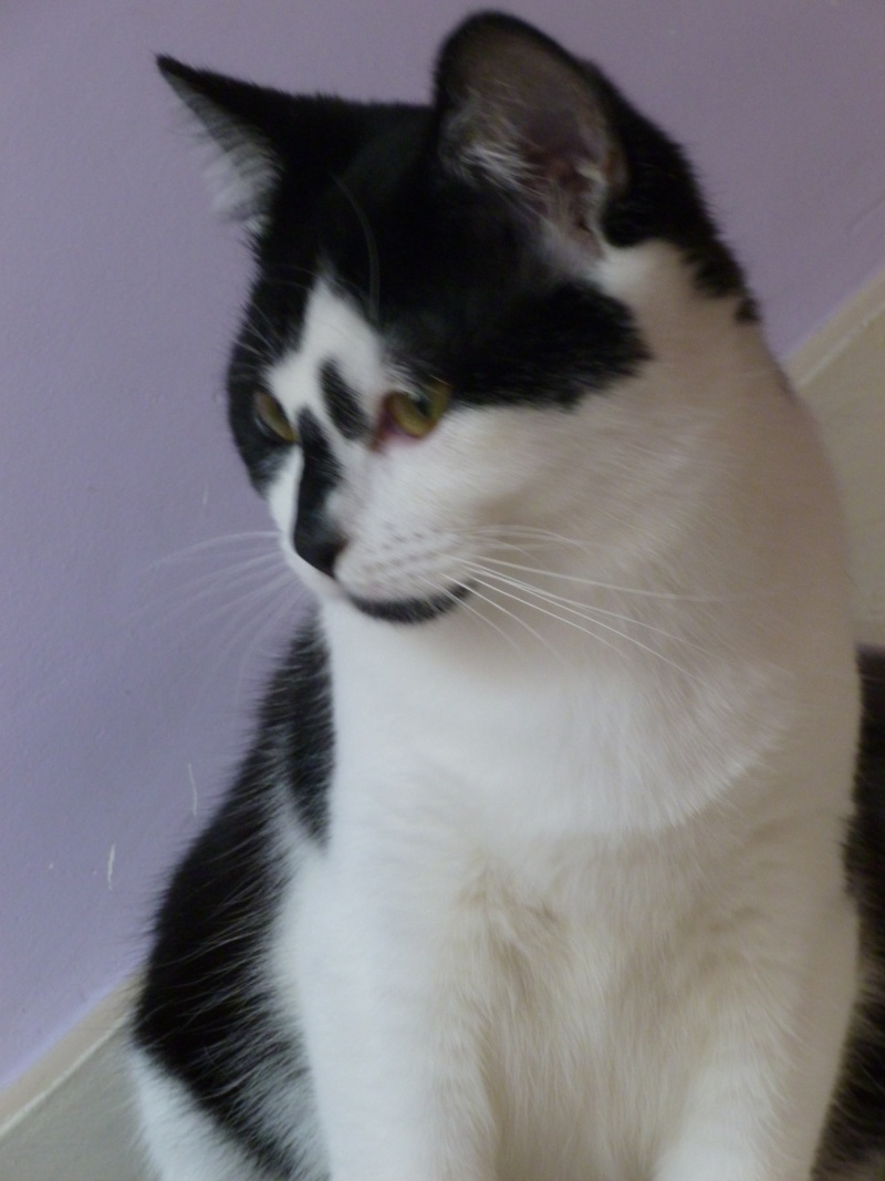 OLIVER, adorable chaton de 4 mois blanc et noir P1020611