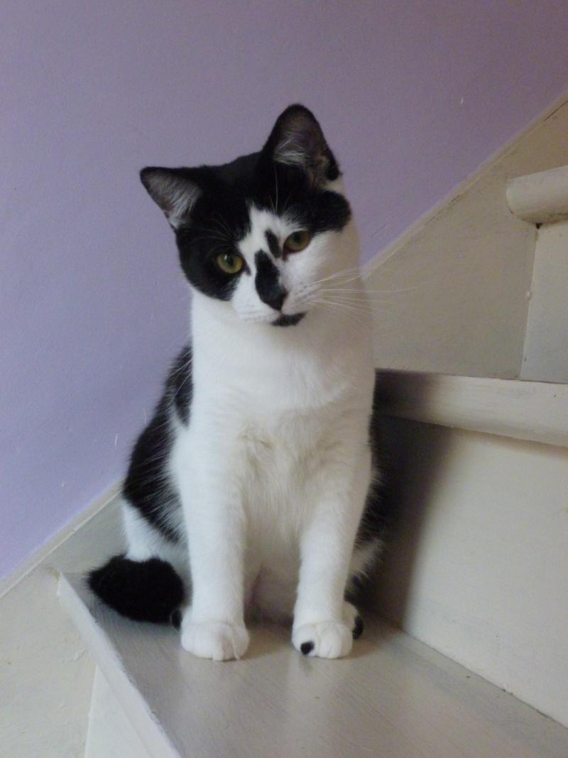 OLIVER, adorable chaton de 4 mois blanc et noir P1020612