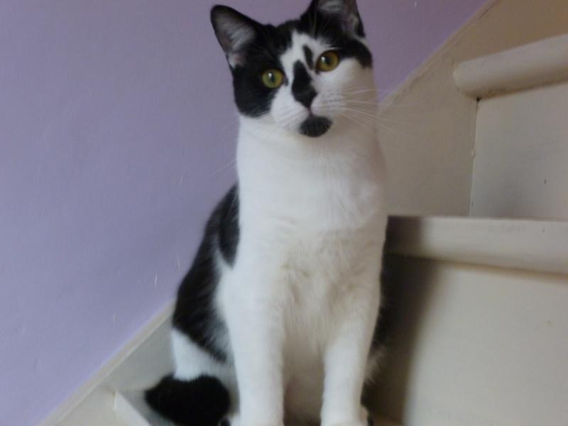 OLIVER, adorable chaton de 4 mois blanc et noir P1020613