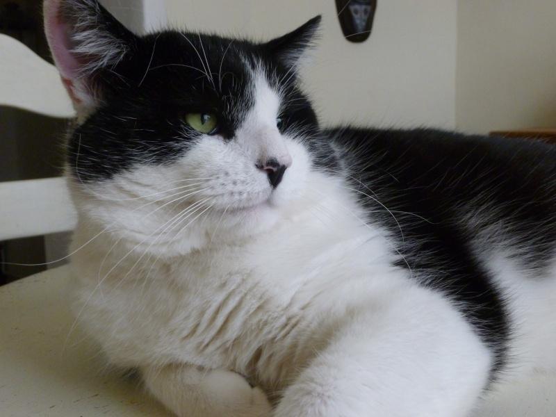 Adorable NEO, beau matou de 3 ans et demi à adopter P1020615
