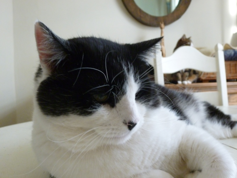 Adorable NEO, beau matou de 3 ans et demi à adopter P1020617