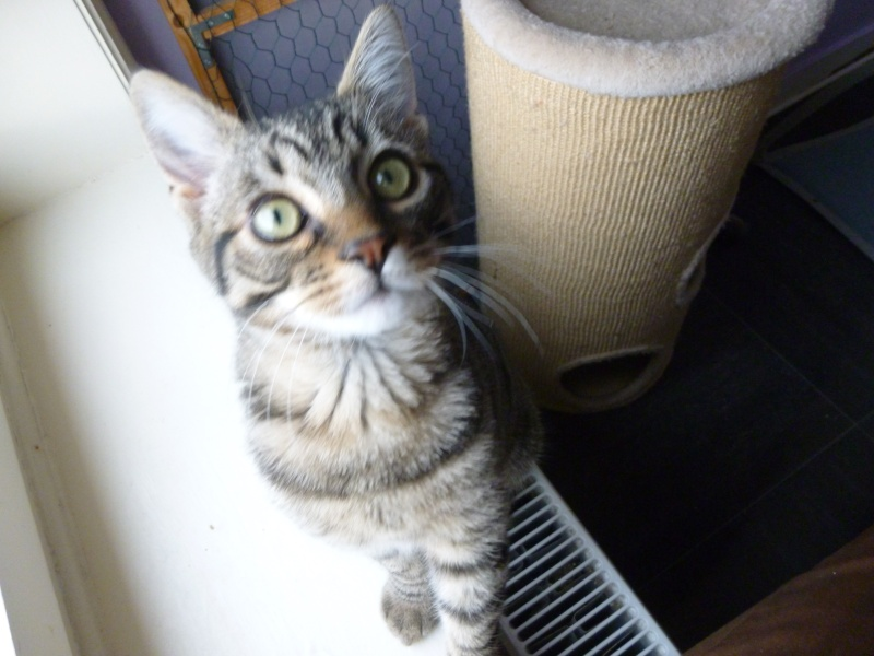 COQUIN, très beau chaton de 3 mois tigré P1020626
