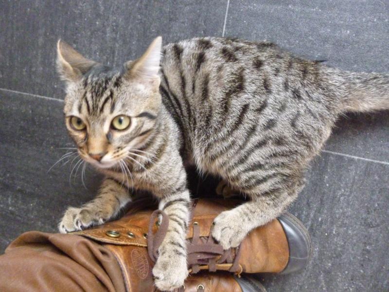 COQUIN, très beau chaton de 3 mois tigré P1020627