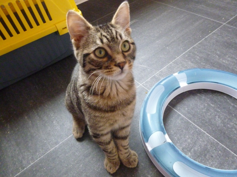 COQUIN, très beau chaton de 3 mois tigré P1020629