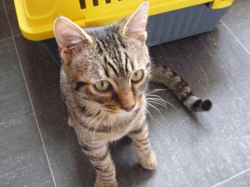 COQUIN, très beau chaton de 3 mois tigré P1020632