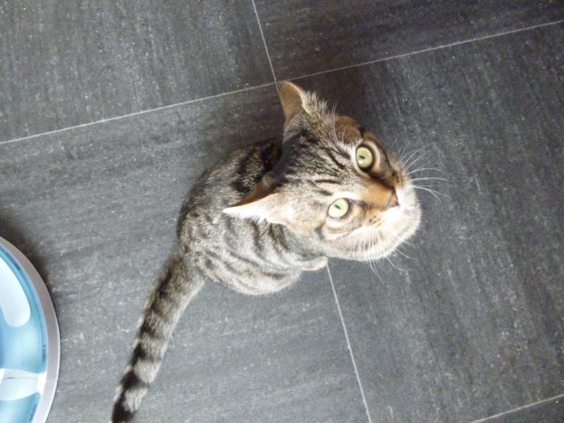 COQUIN, très beau chaton de 3 mois tigré P1020633