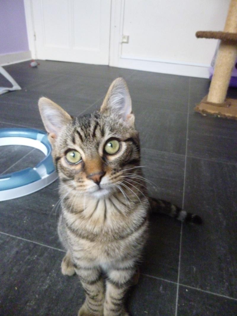 COQUIN, très beau chaton de 3 mois tigré P1020634