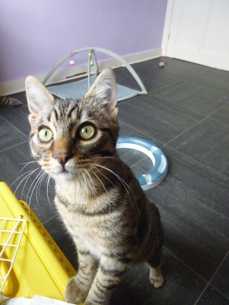 COQUIN, très beau chaton de 3 mois tigré P1020635