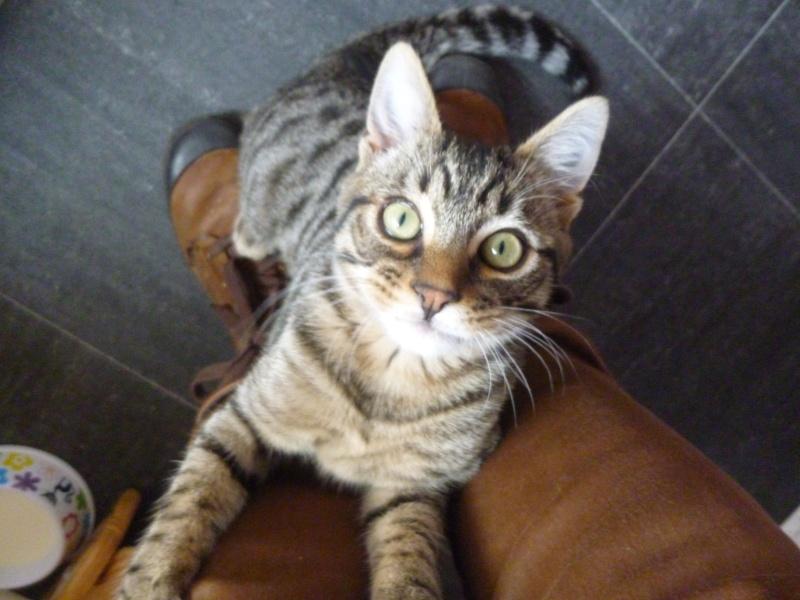 COQUIN, très beau chaton de 3 mois tigré P1020710