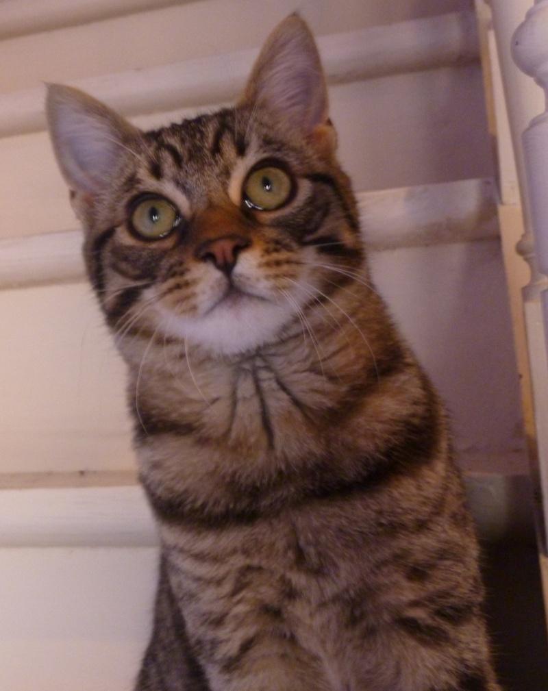 COQUIN, très beau chaton de 3 mois tigré P1020716