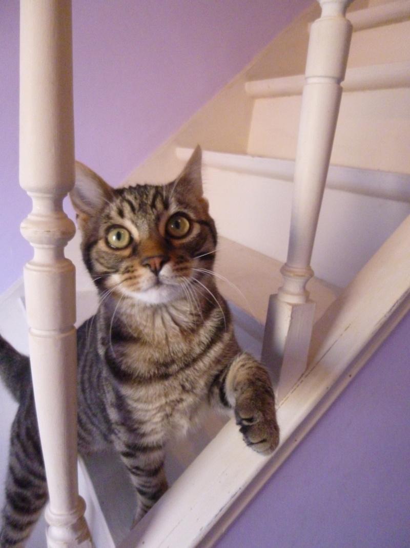 COQUIN, très beau chaton de 3 mois tigré P1020717