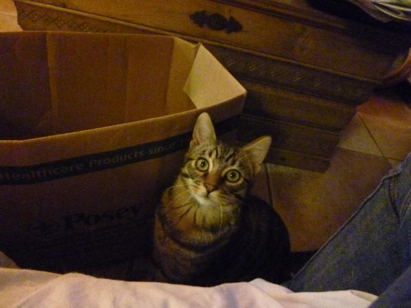 COQUIN, très beau chaton de 3 mois tigré P1020732