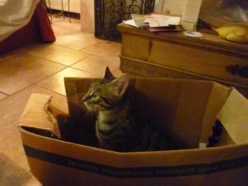COQUIN, très beau chaton de 3 mois tigré P1020733