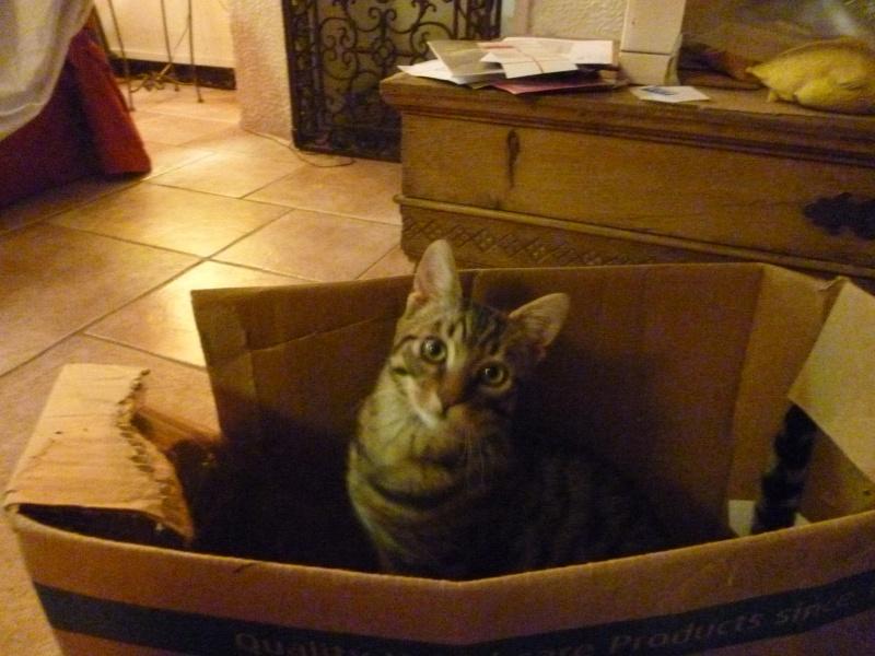 COQUIN, très beau chaton de 3 mois tigré P1020734