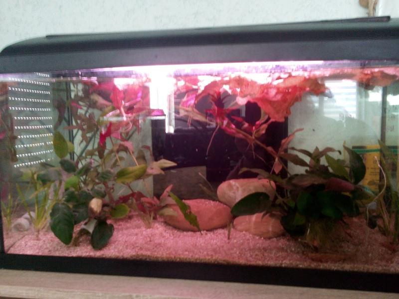 54 litres Pseudosphromenus cupanus Img_2032