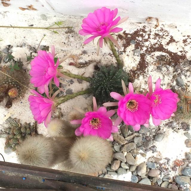 Echinopsis hybride Echino10