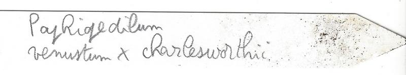 Paphiopedilum Venustum x Charlesworthii Et210