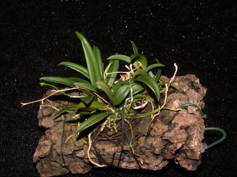 Miniatur-Orchideen Teil 3 - Seite 3 Dscn9610