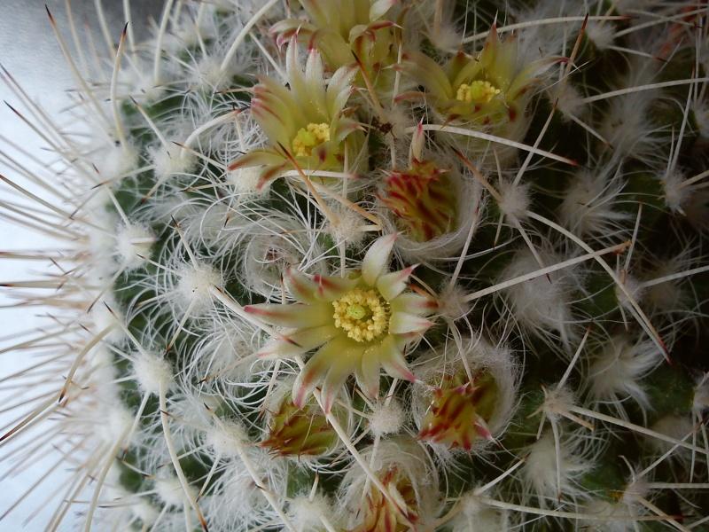 mammiillaria parkinsonii? Dsc02520