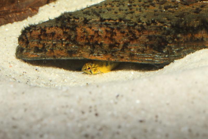 Corydoras hastatus/Hyphessobrycon elachys - Page 6 Apisto19