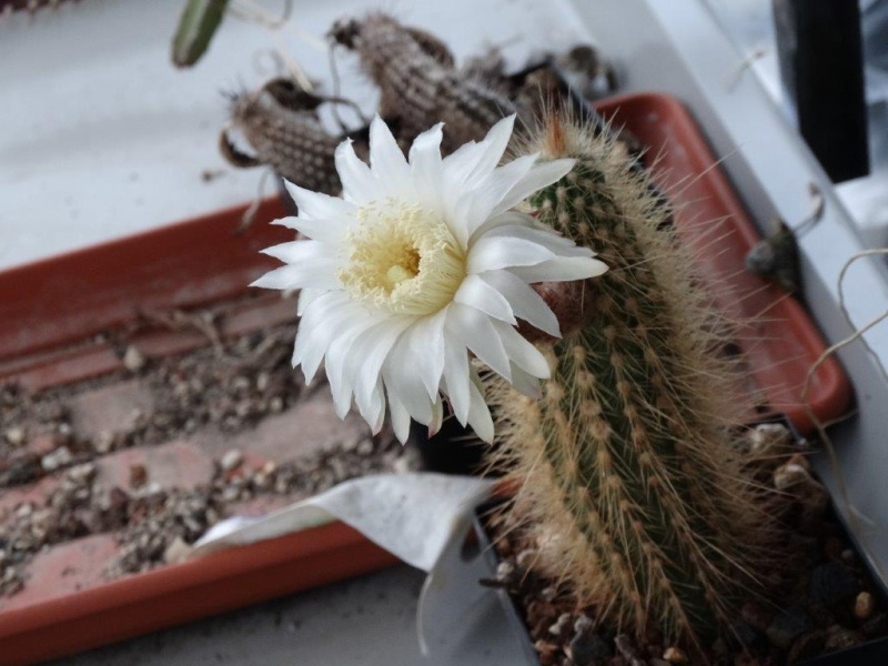 Arthrocereus spinosissimus Dsc01811