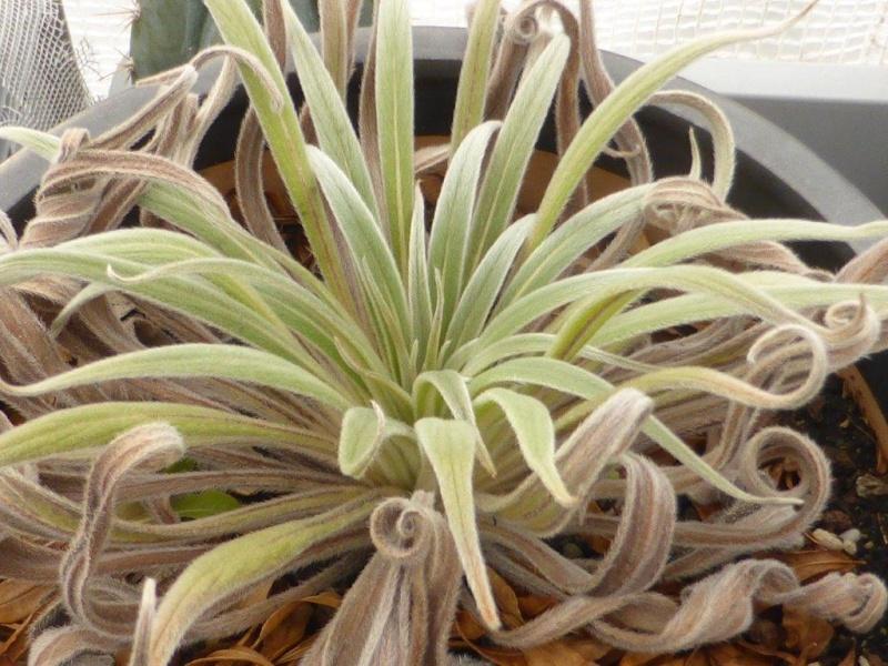 Echium wildpretii - Seite 5 P1110724