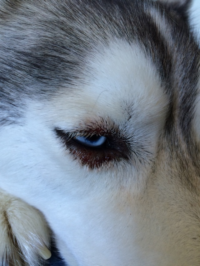 Husky Skin condition near eye Img_0210