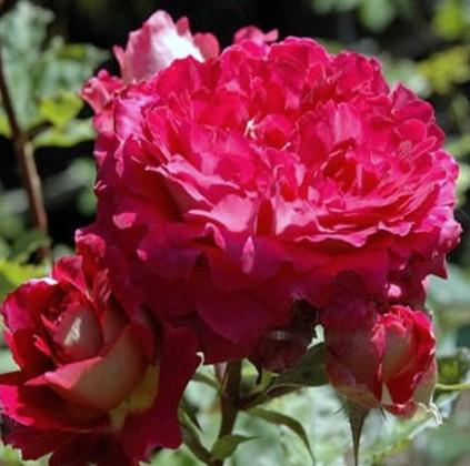 rosier docteur Massad Docteu10