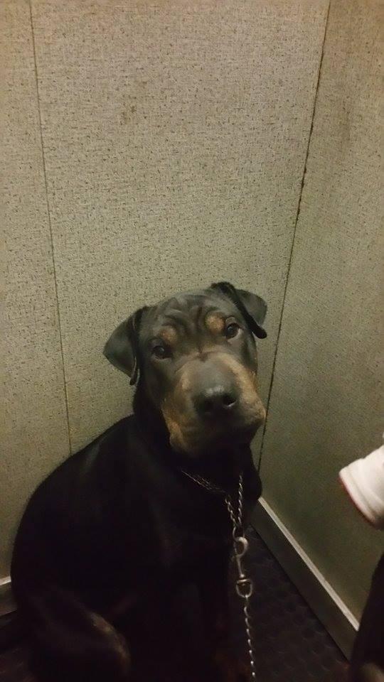 Recherche une famille d'accueil pour Léo, mâle type shar pei de 8 mois Lyo10