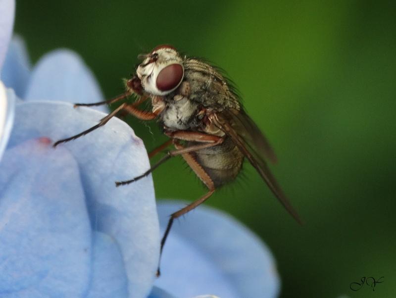 Muscidae... Antenn10