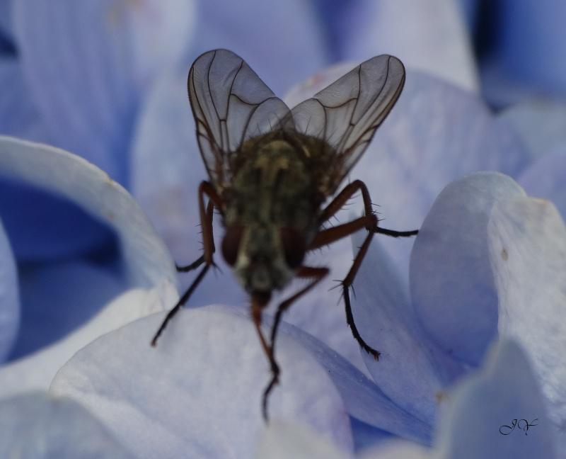 Muscidae... De_deu10
