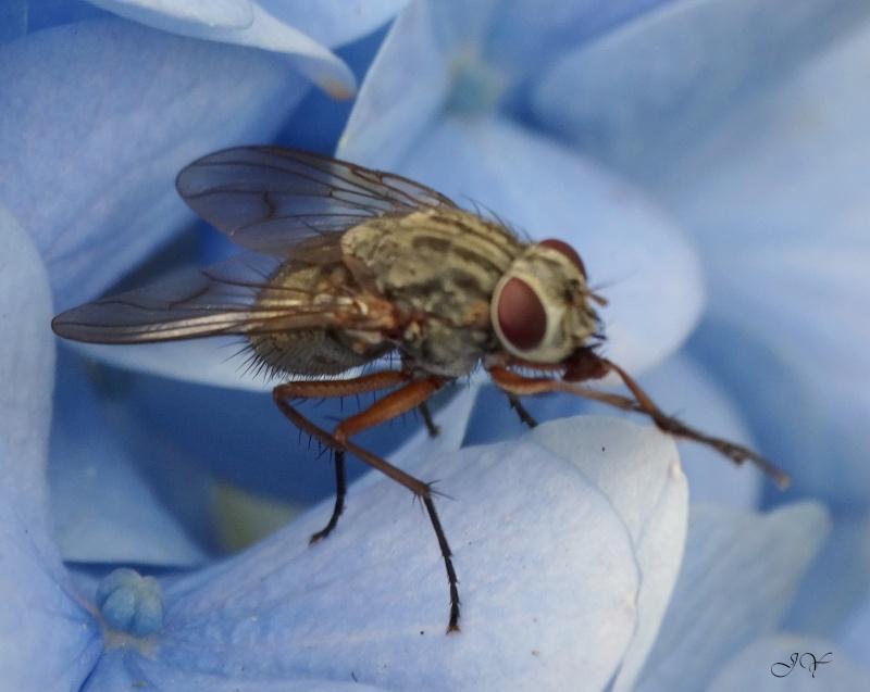 Muscidae... Du_des10