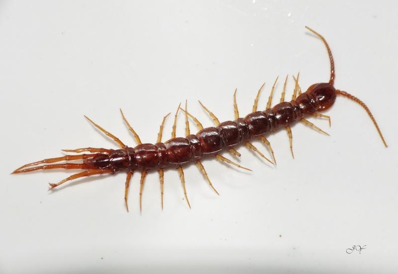 Lithobiidae Lithob10