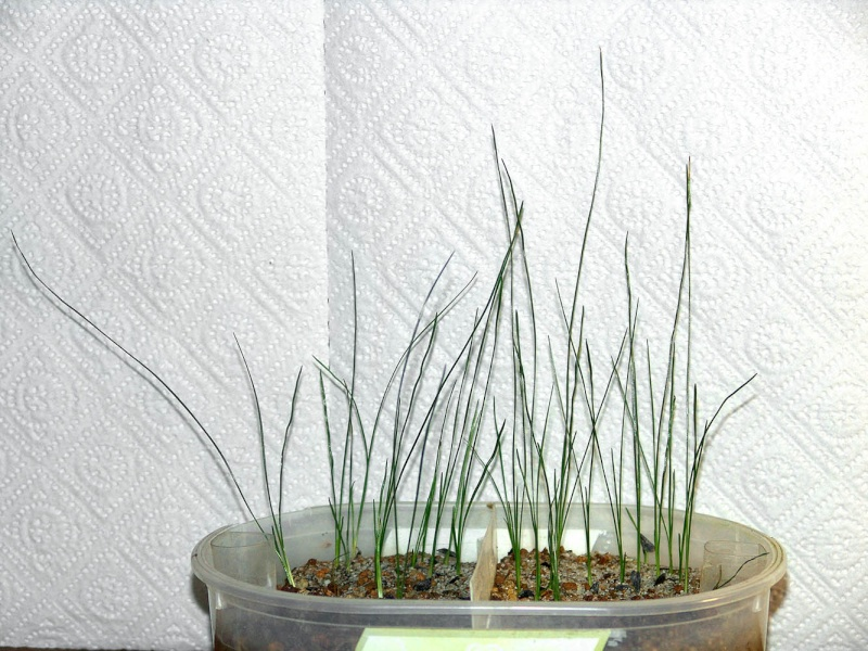 Grasbaumgewächse (Xanthorrhoeaceae) - Seite 2 X_grac10