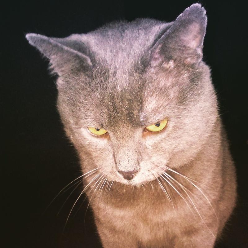 Levi, mâle, 2007, type chartreux Levi15