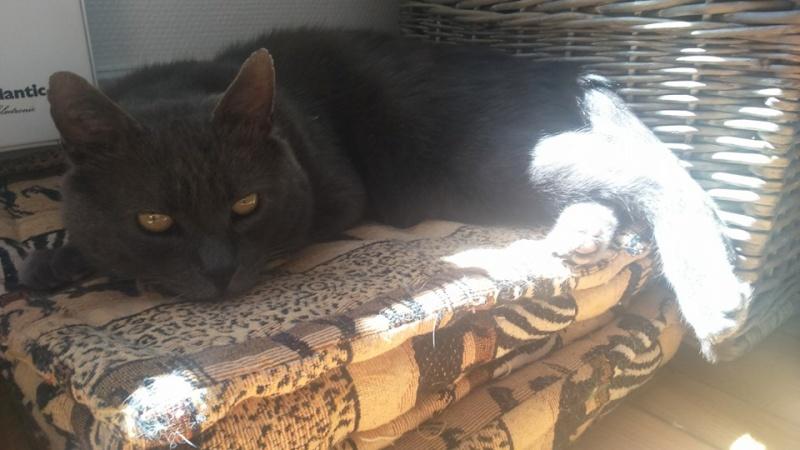 Levi, mâle, 2007, type chartreux Levi29