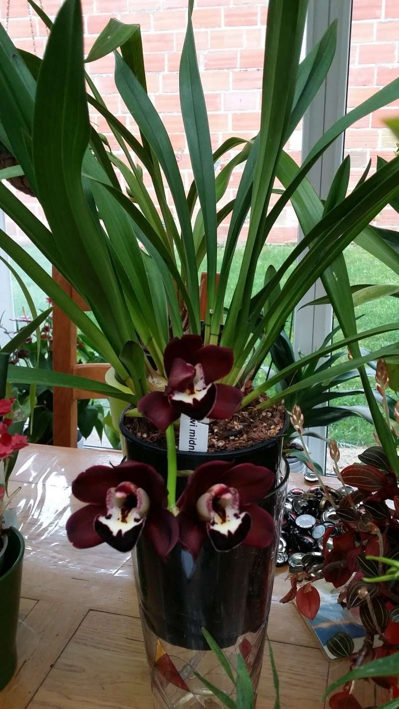 cymbidium kiwi midnight 20151211
