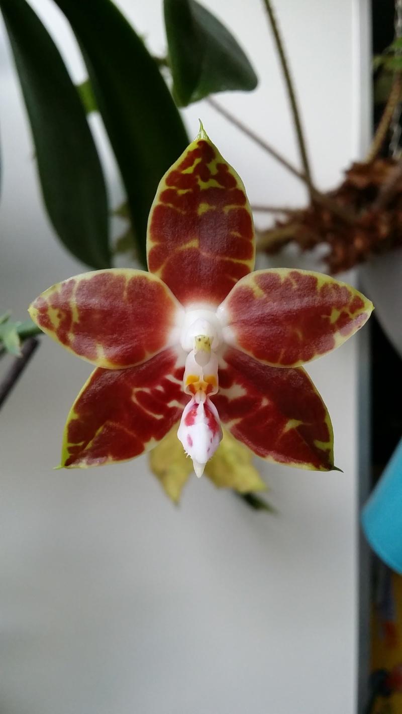 phalaenopsis ambonosa (Amboinensis x venosa red) 20151217