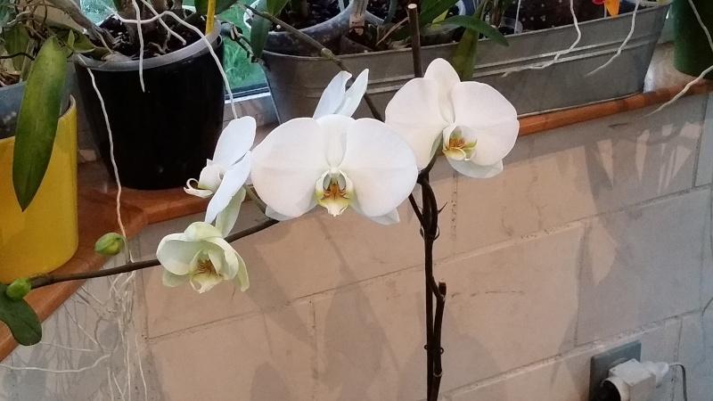 phalaenopsis blanc a fleurs enooooooooormes - Page 3 20151226