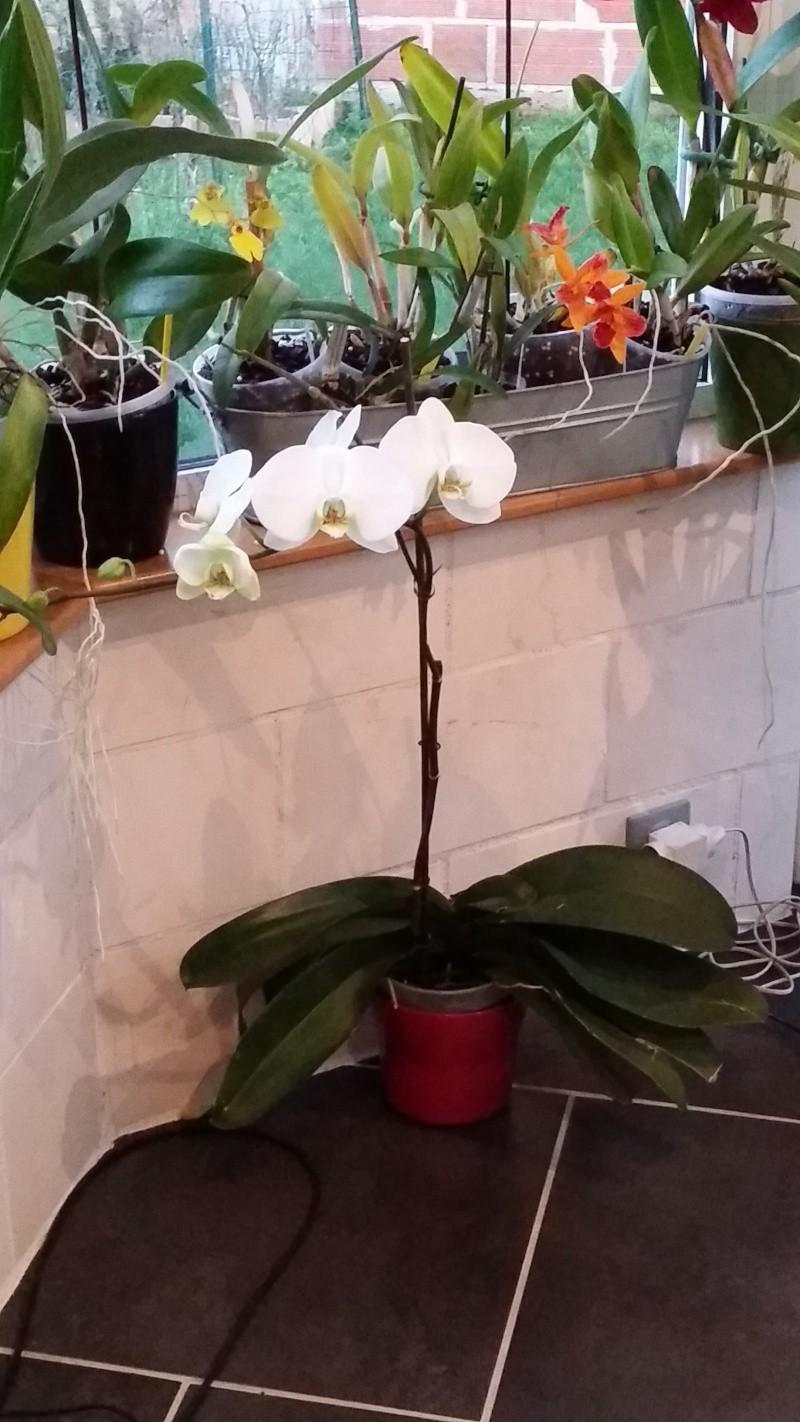 phalaenopsis blanc a fleurs enooooooooormes - Page 3 20151227