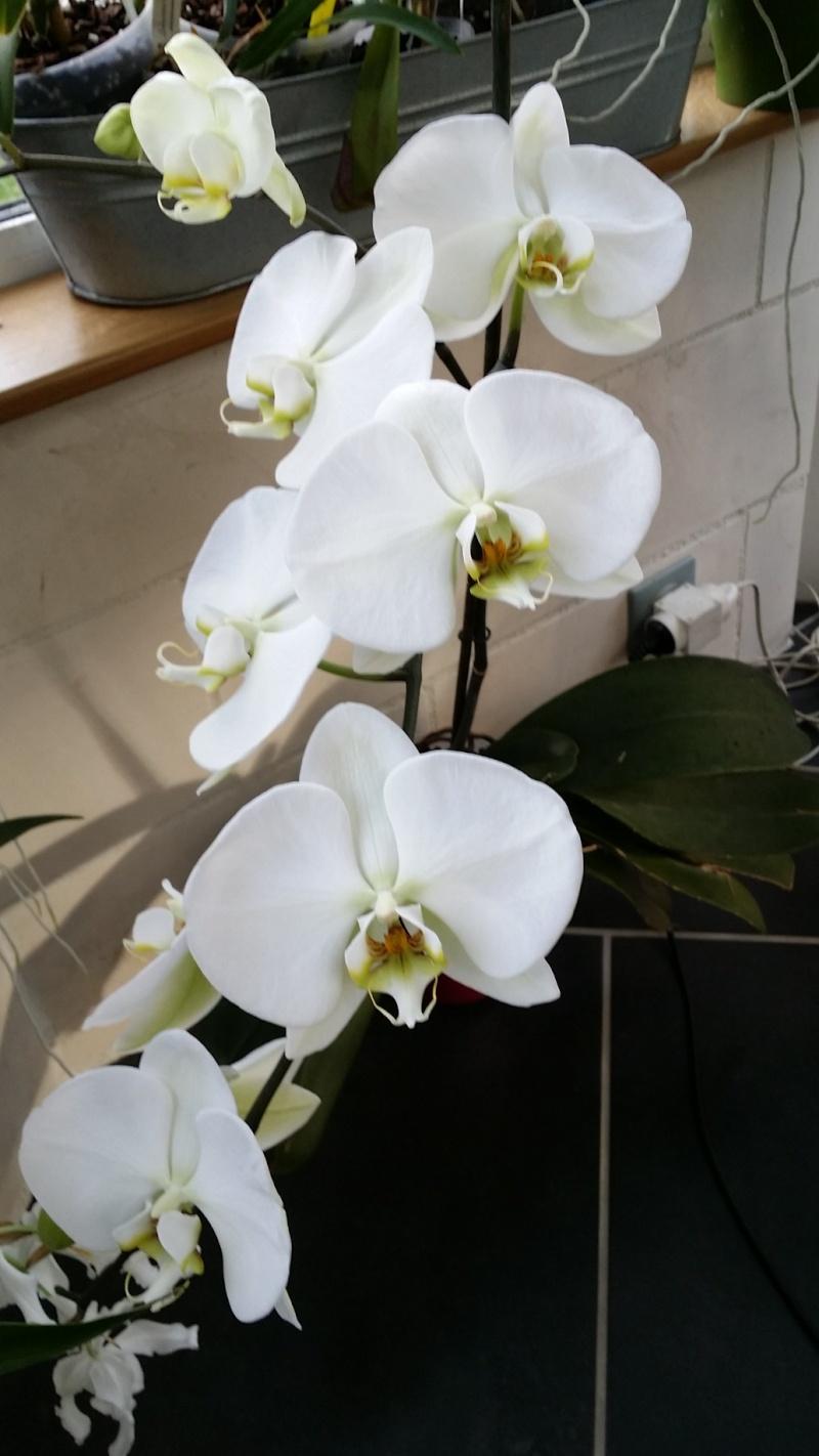 phalaenopsis blanc géant ! 20160216